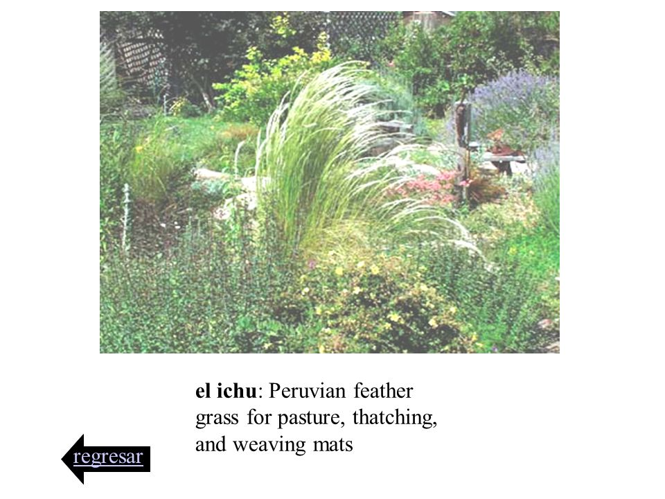 el ichu: Peruvian feather grass for pasture, thatching, and weaving mats