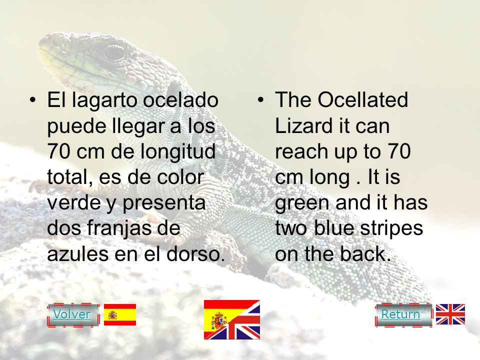 OCELLATED LIZARD LAGARTO OCELADO