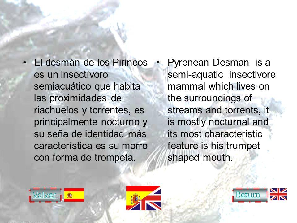 DESMAN OF THE PYRENEES DESMÁN DE LOS PIRINEOS