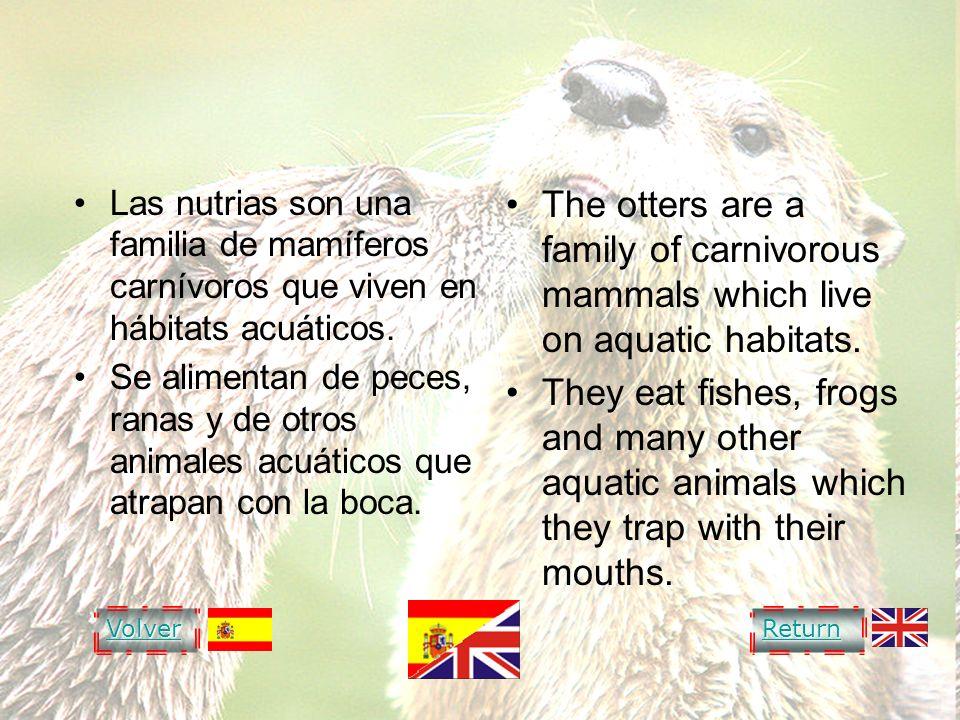 OTTER NUTRIA. Las nutrias son una familia de mamíferos carnívoros que viven en hábitats acuáticos.