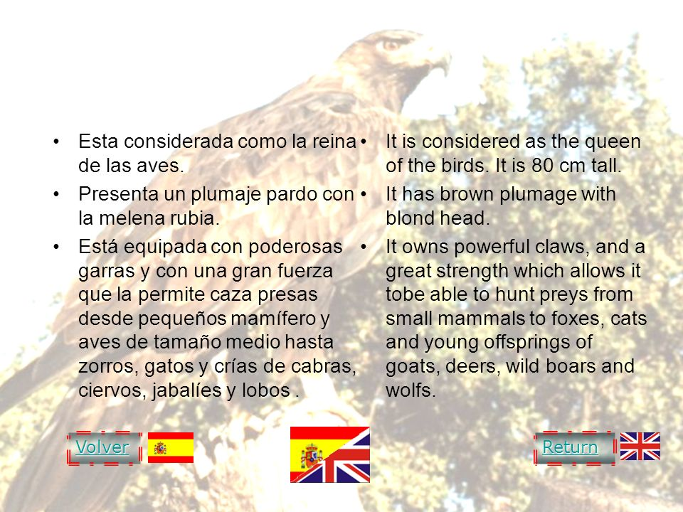 GOLDEN EAGLE AGUILA REAL