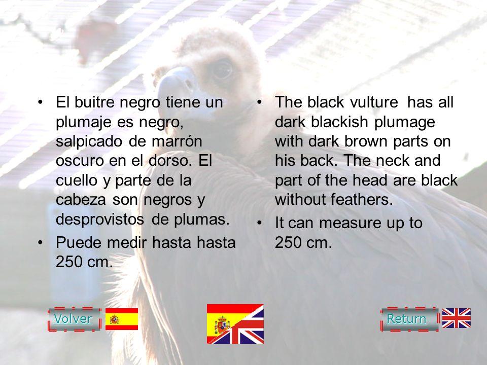 BLACK VULTURE BUITRE NEGRO