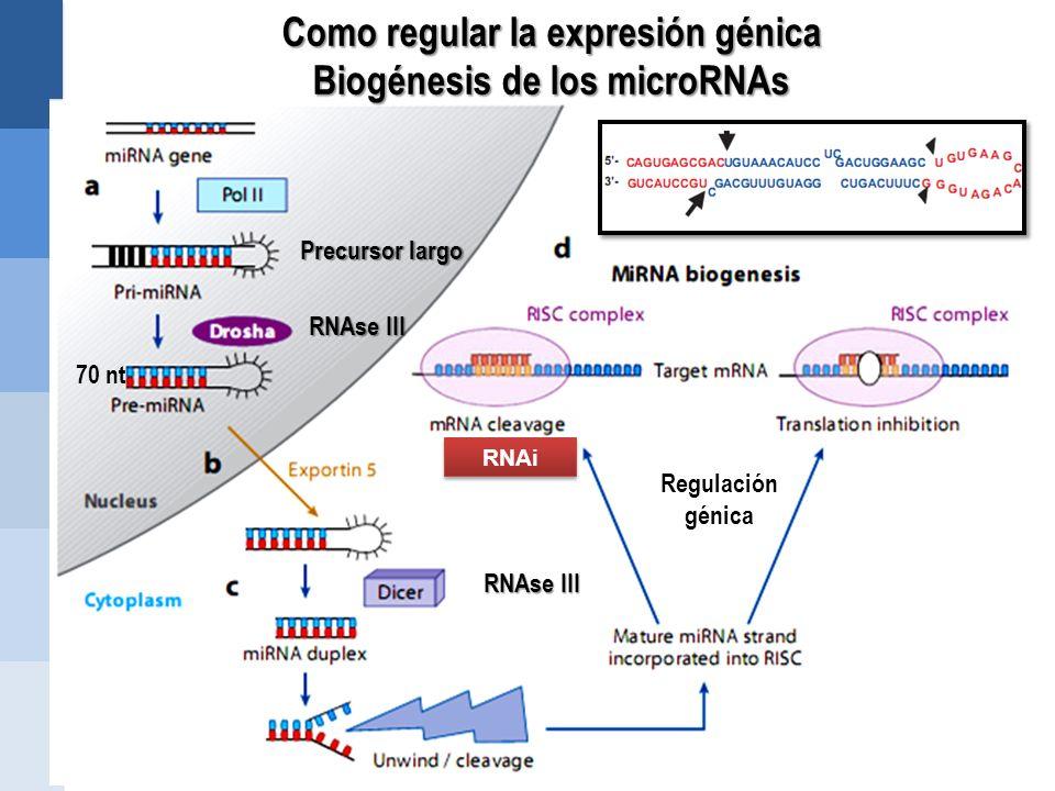 Como regular la expresión génica Biogénesis de los microRNAs