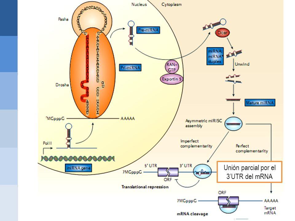 Unión parcial por el 3'UTR del mRNA