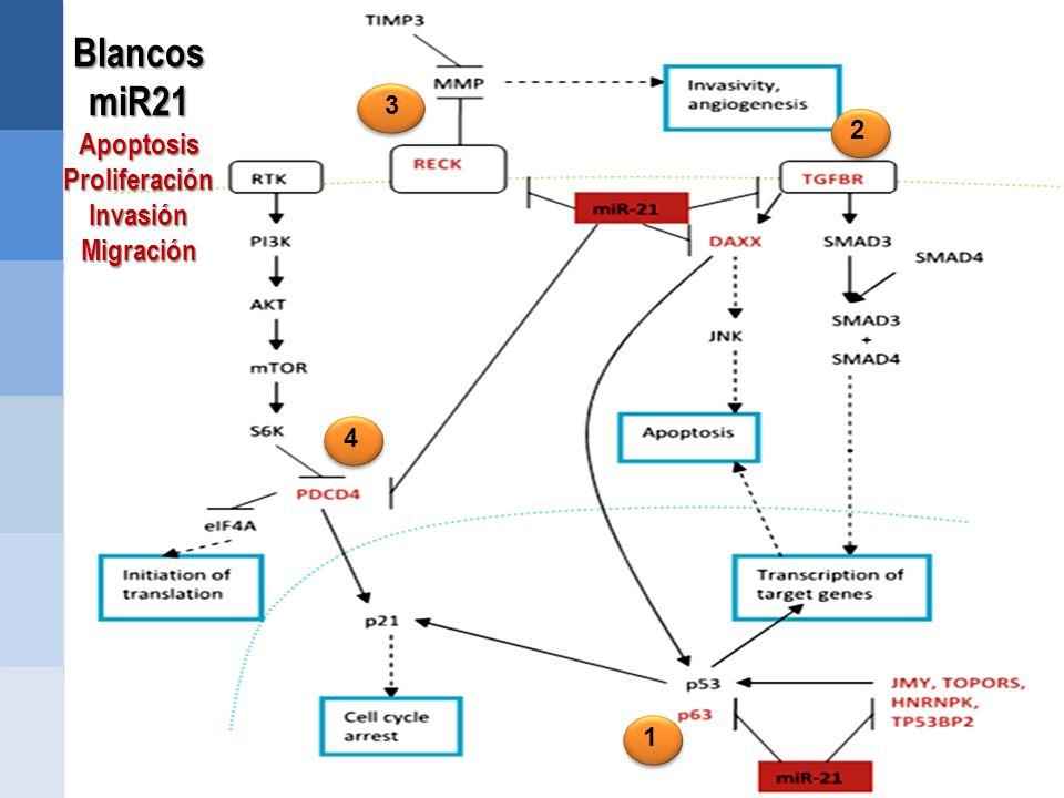 Blancos miR21 Apoptosis Proliferación Invasión Migración