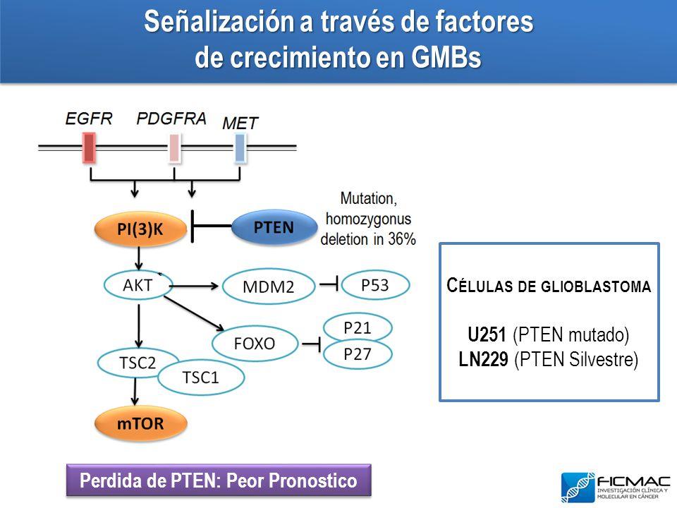 Señalización a través de factores de crecimiento en GMBs