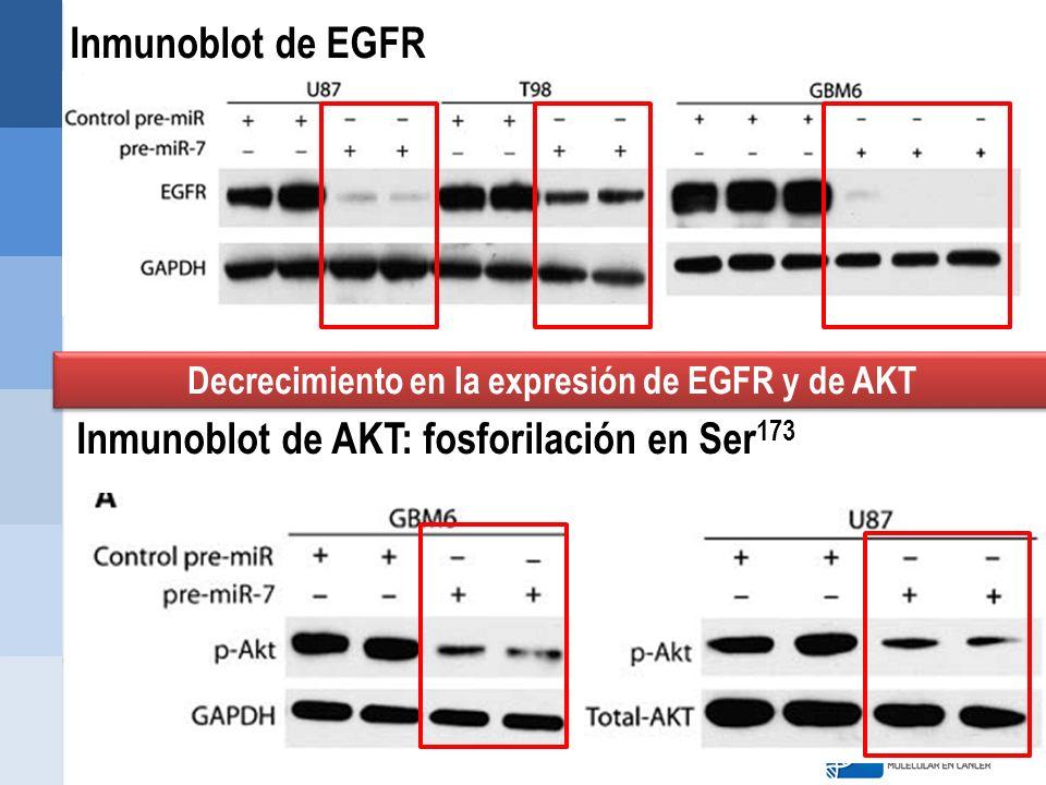 Decrecimiento en la expresión de EGFR y de AKT