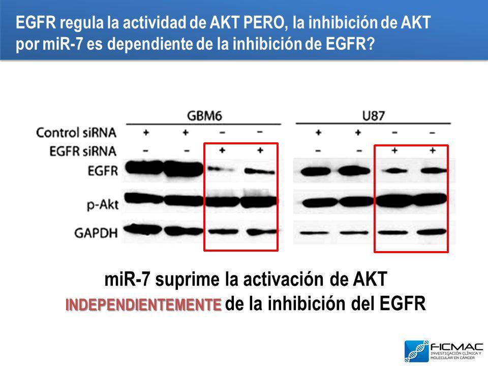 EGFR regula la actividad de AKT PERO, la inhibición de AKT por miR-7 es dependiente de la inhibición de EGFR