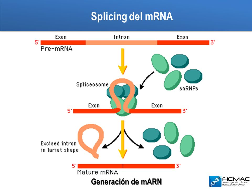 Splicing del mRNA Generación de mARN
