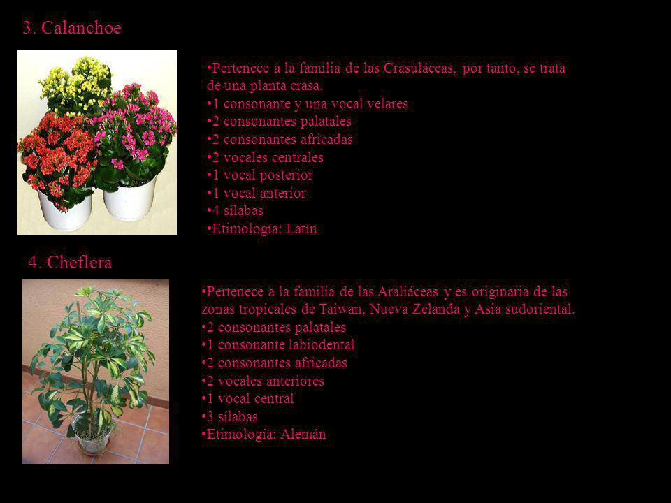 3. Calanchoe Pertenece a la familia de las Crasuláceas, por tanto, se trata. de una planta crasa. 1 consonante y una vocal velares.