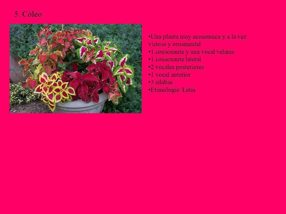 5. Cóleo Una planta muy económica y a la vez vistosa y ornamental.