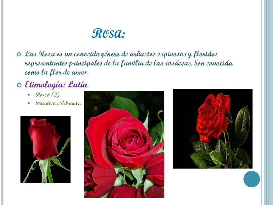 Rosa: Etimología: Latín