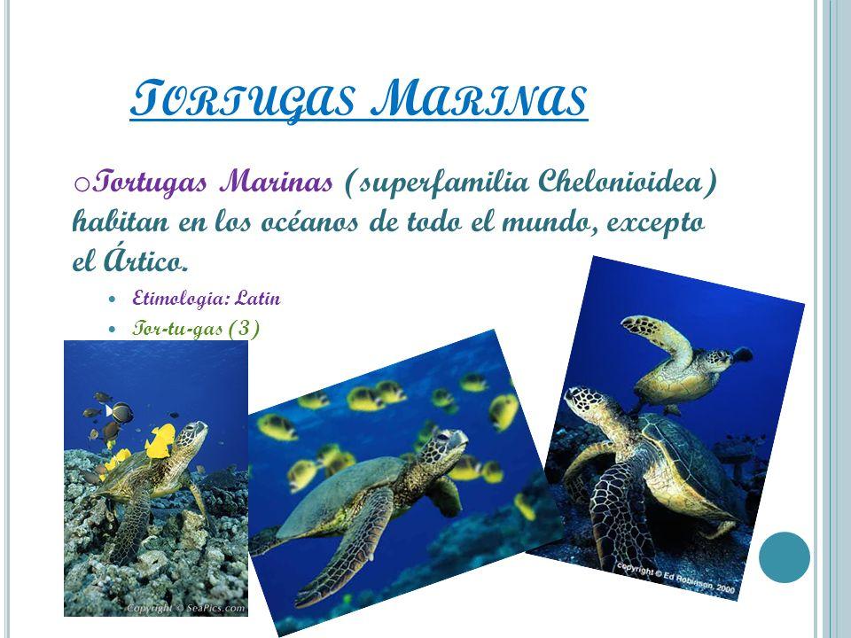 Tortugas Marinas Tortugas Marinas (superfamilia Chelonioidea) habitan en los océanos de todo el mundo, excepto el Ártico.