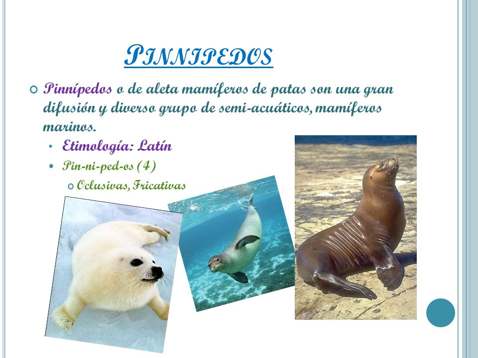 PinnipedosPinnípedos o de aleta mamíferos de patas son una gran difusión y diverso grupo de semi-acuáticos, mamíferos marinos.