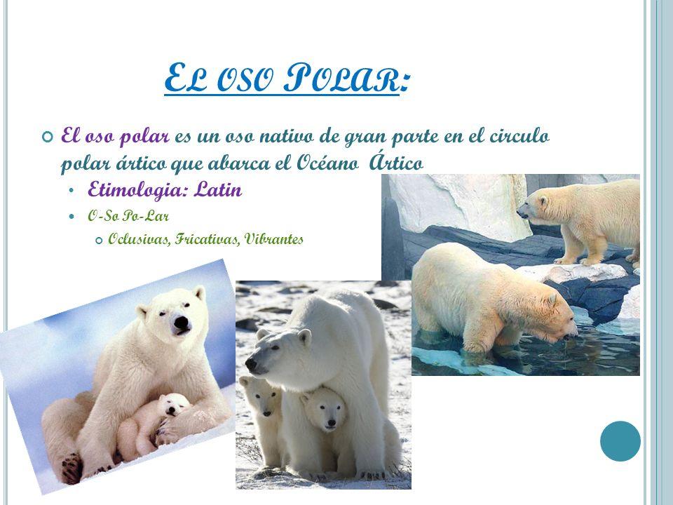 El oso Polar: El oso polar es un oso nativo de gran parte en el circulo polar ártico que abarca el Océano Ártico.