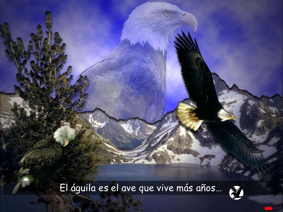 El águila es el ave que vive más años…