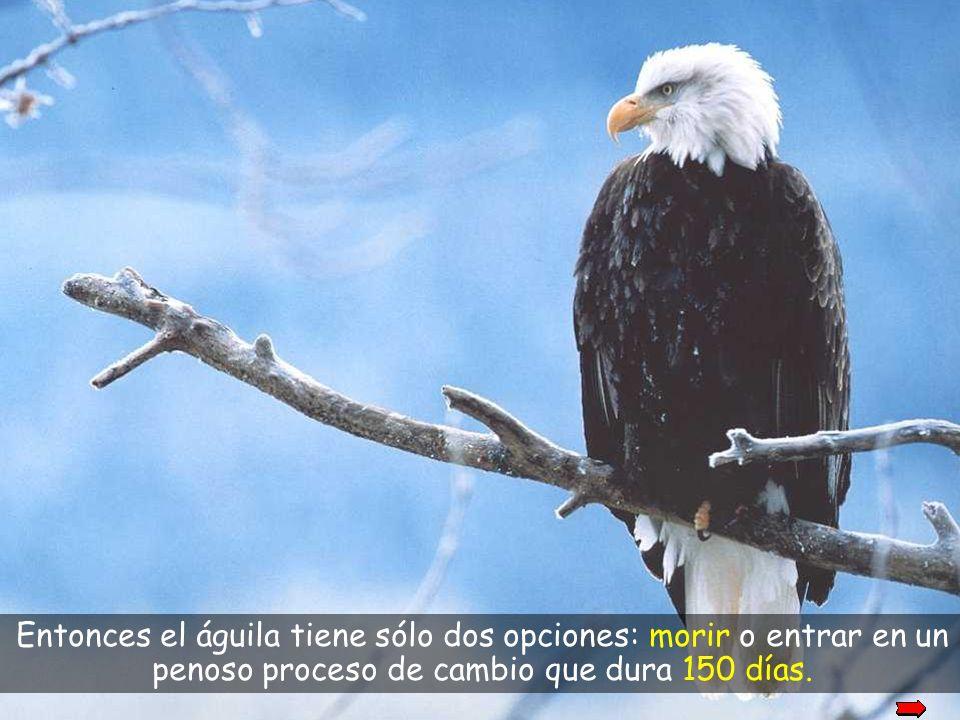okay Entonces el águila tiene sólo dos opciones: morir o entrar en un penoso proceso de cambio que dura 150 días.