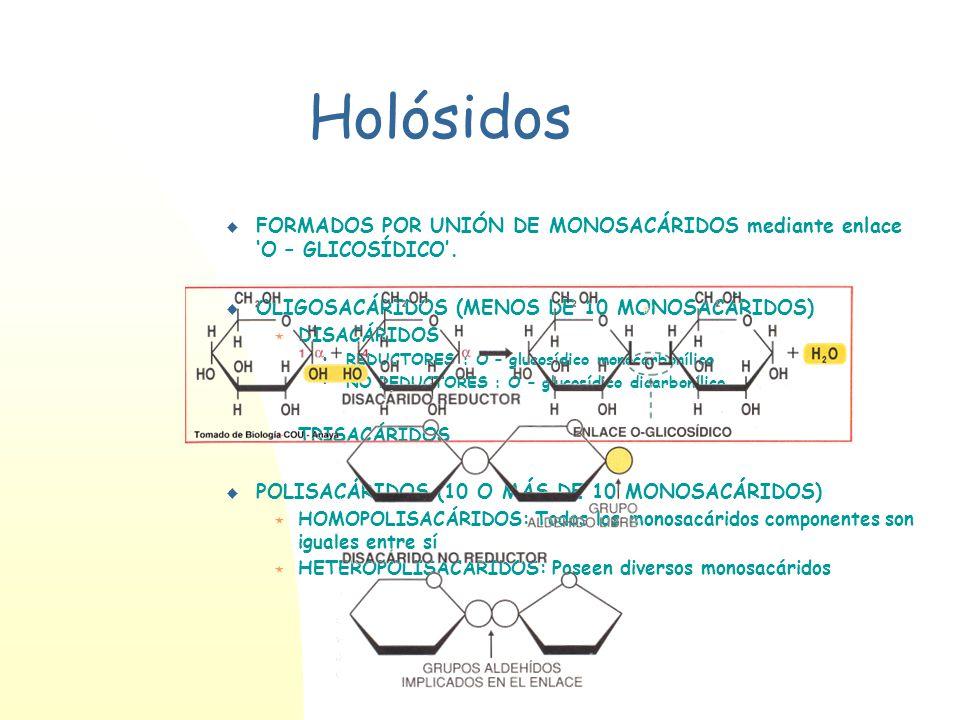Holósidos FORMADOS POR UNIÓN DE MONOSACÁRIDOS mediante enlace 'O – GLICOSÍDICO'. OLIGOSACÁRIDOS (MENOS DE 10 MONOSACÁRIDOS)