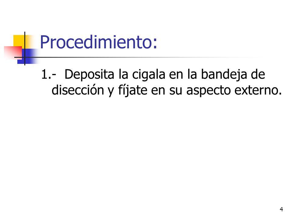Procedimiento: 1.- Deposita la cigala en la bandeja de disección y fíjate en su aspecto externo.