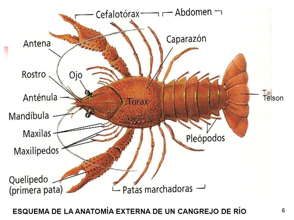 Dorable Anatomía Externa Del Cangrejo De Río Embellecimiento ...