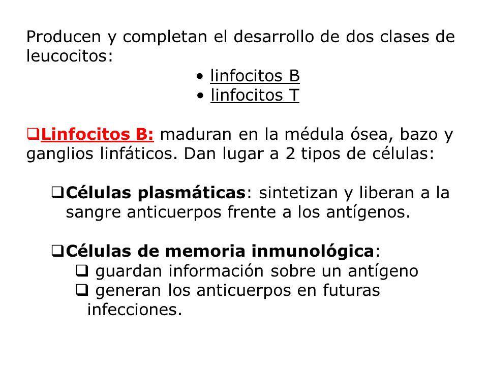 Producen y completan el desarrollo de dos clases de leucocitos: