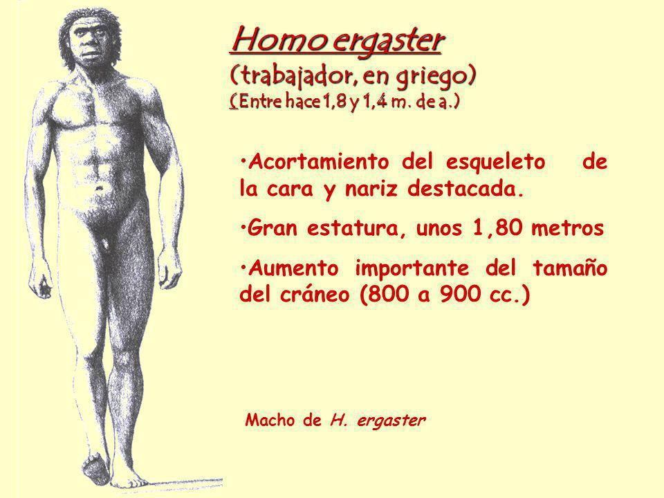 Homo ergaster (trabajador, en griego) (Entre hace 1,8 y 1,4 m. de a.)