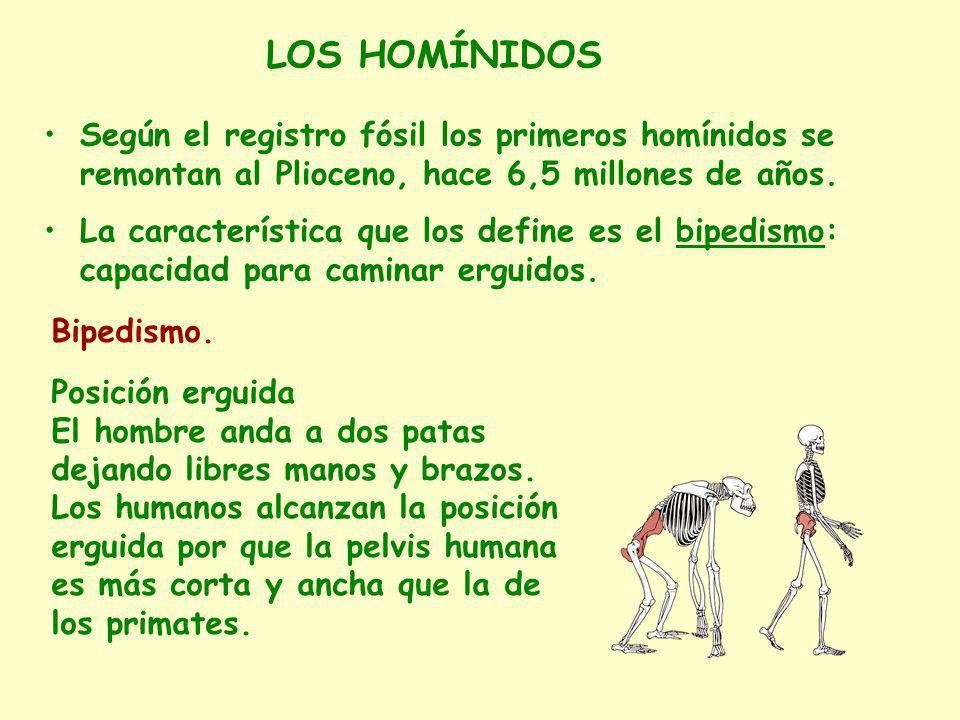 LOS HOMÍNIDOS Según el registro fósil los primeros homínidos se remontan al Plioceno, hace 6,5 millones de años.