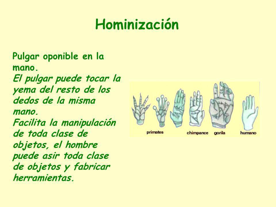 Hominización Pulgar oponible en la mano. El pulgar puede tocar la yema del resto de los dedos de la misma mano.