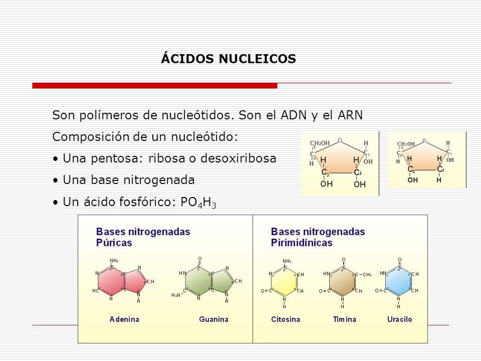 ÁCIDOS NUCLEICOS Son polímeros de nucleótidos. Son el ADN y el ARN. Composición de un nucleótido: Una pentosa: ribosa o desoxiribosa.