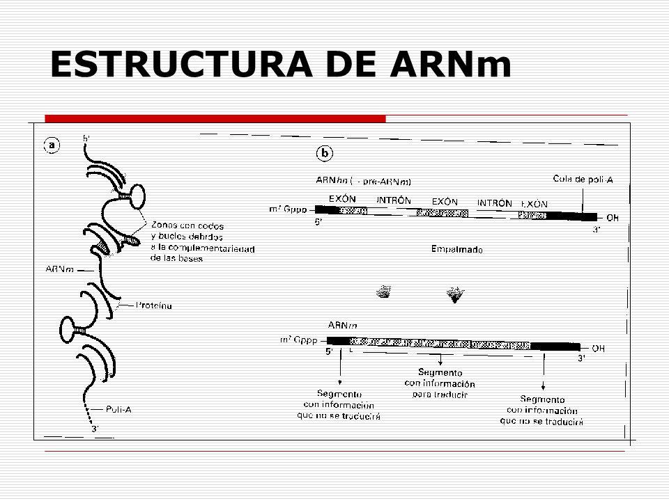 ESTRUCTURA DE ARNm