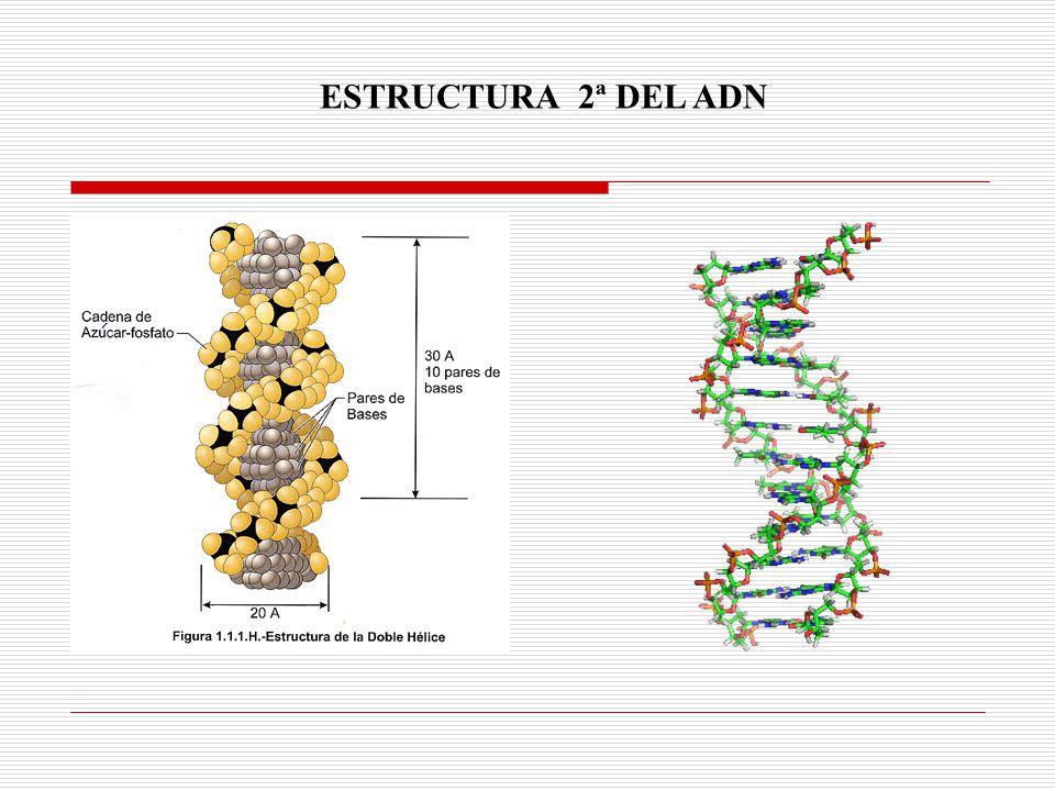ESTRUCTURA 2ª DEL ADN