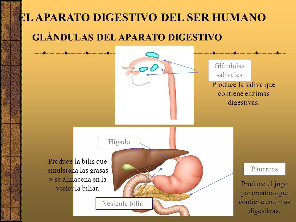 EL APARATO DIGESTIVO DEL SER HUMANO