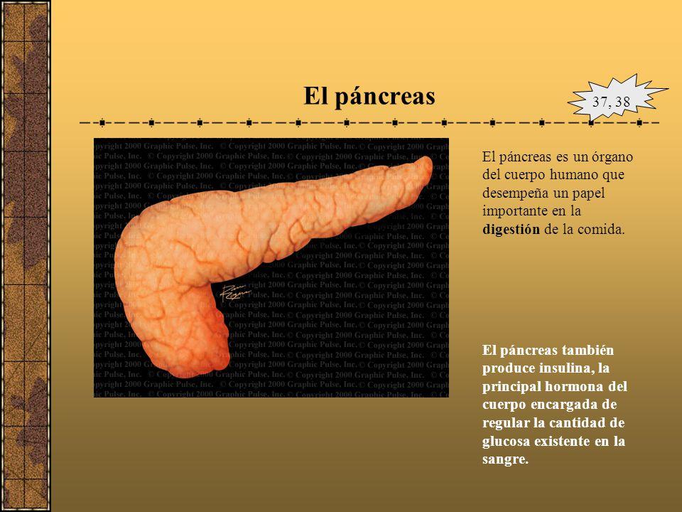 El páncreas 37, 38. El páncreas es un órgano del cuerpo humano que desempeña un papel importante en la digestión de la comida.
