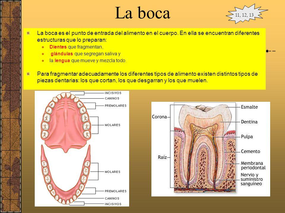 La boca 11, 12, 13. La boca es el punto de entrada del alimento en el cuerpo. En ella se encuentran diferentes estructuras que lo preparan: