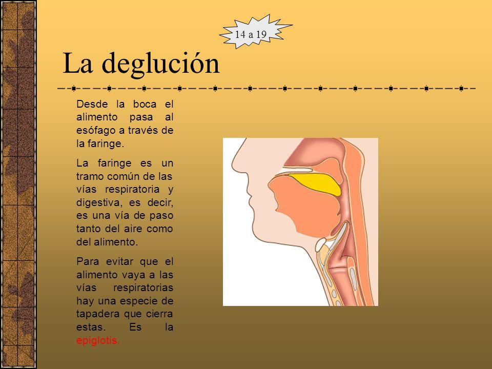 14 a 19 La deglución. Desde la boca el alimento pasa al esófago a través de la faringe.