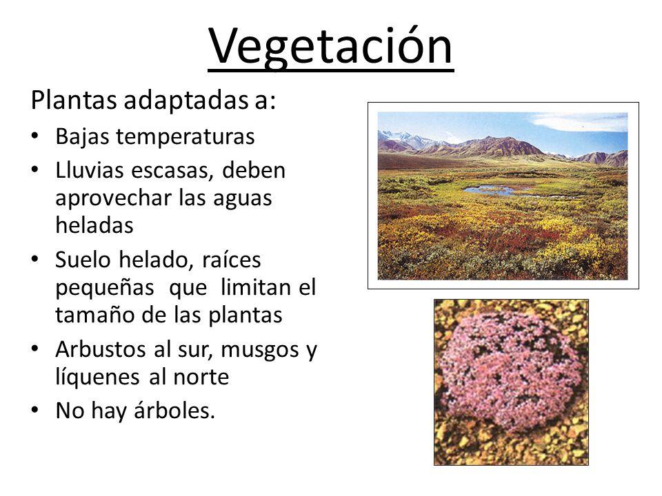 Vegetación Plantas adaptadas a: Bajas temperaturas