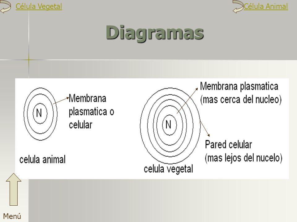 Célula Vegetal Célula Animal Diagramas Menú