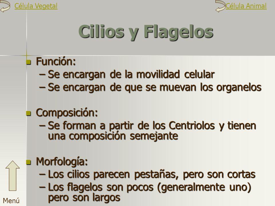 Cilios y Flagelos Función: Se encargan de la movilidad celular