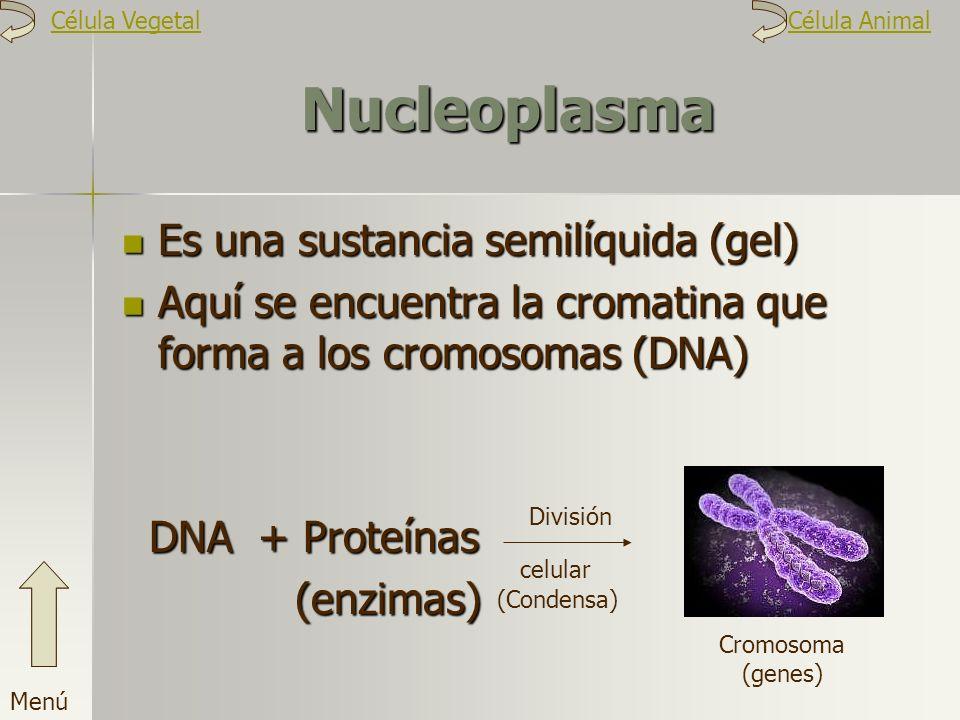 Nucleoplasma Es una sustancia semilíquida (gel)
