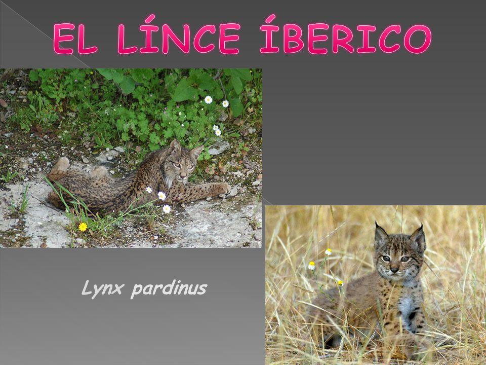 EL LÍNCE ÍBERICO Lynx pardinus