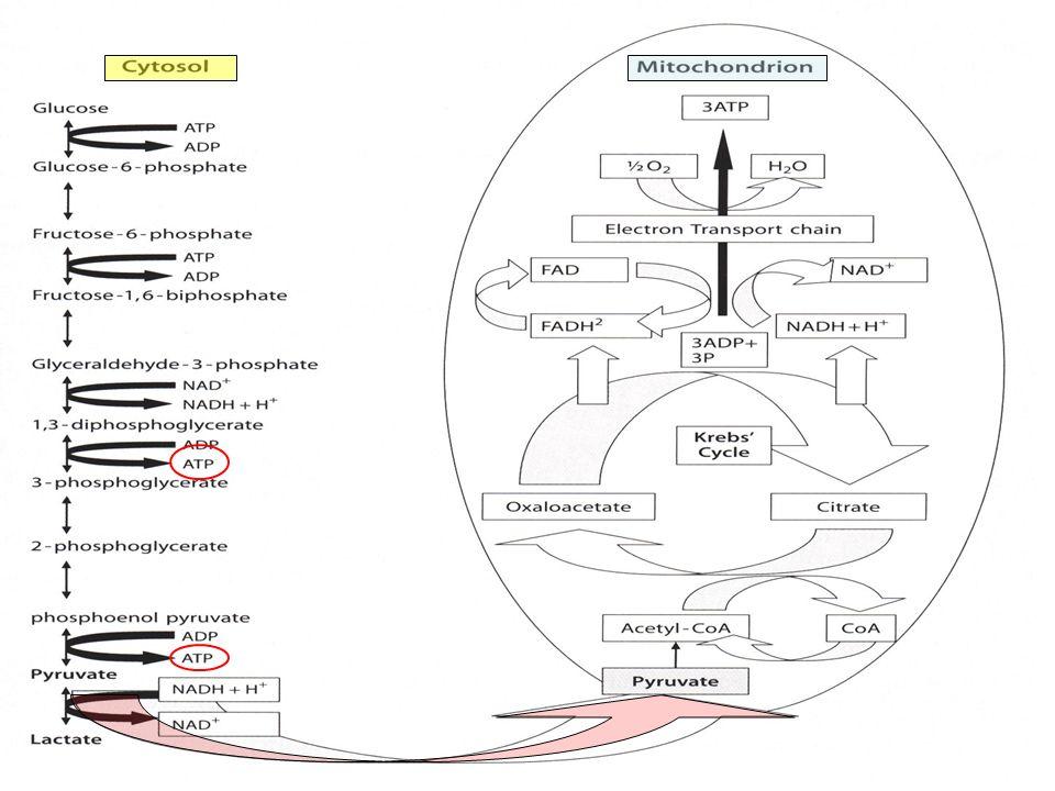 La ganancia neta de moléculas de ATP en el proceso glucolítico es de sólo 2 moles por cada mol de glucosa.