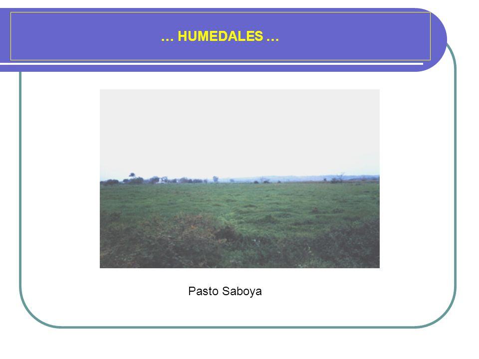 … HUMEDALES … Pasto Saboya