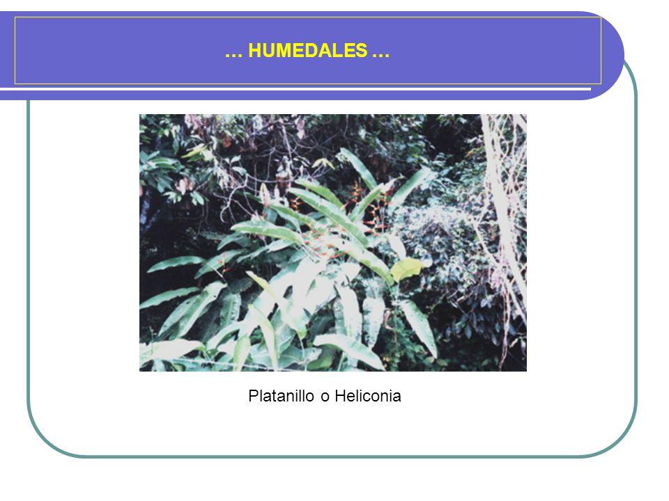 Platanillo o Heliconia