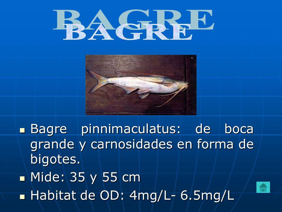 BAGRE Bagre pinnimaculatus: de boca grande y carnosidades en forma de bigotes.