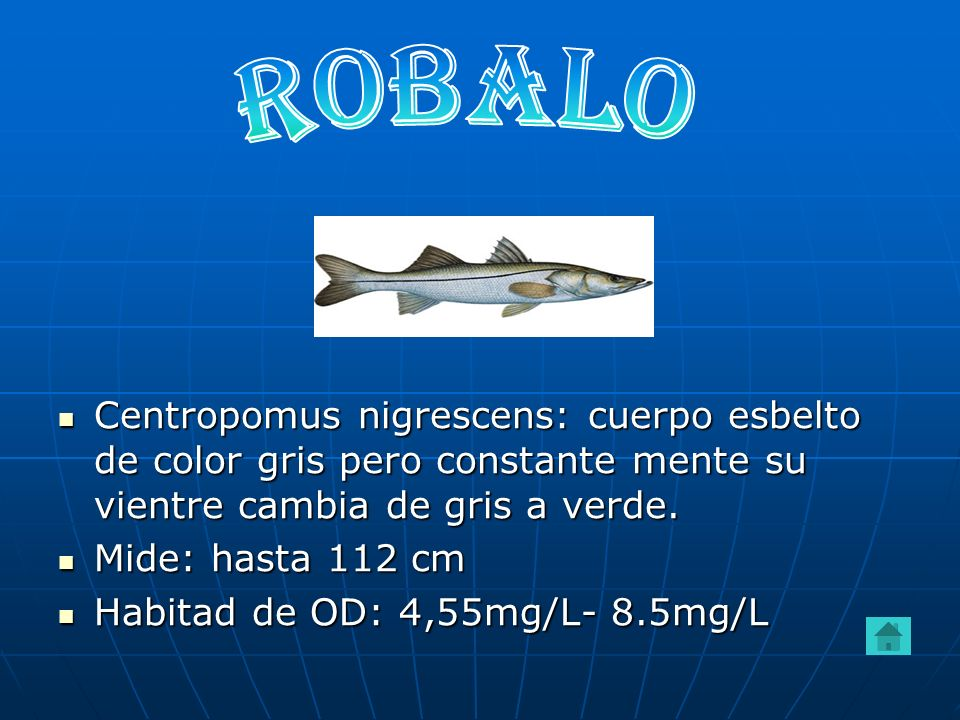 ROBALO Centropomus nigrescens: cuerpo esbelto de color gris pero constante mente su vientre cambia de gris a verde.