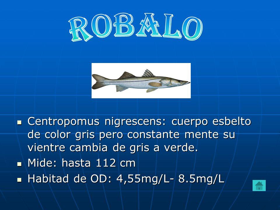 ROBALOCentropomus nigrescens: cuerpo esbelto de color gris pero constante mente su vientre cambia de gris a verde.
