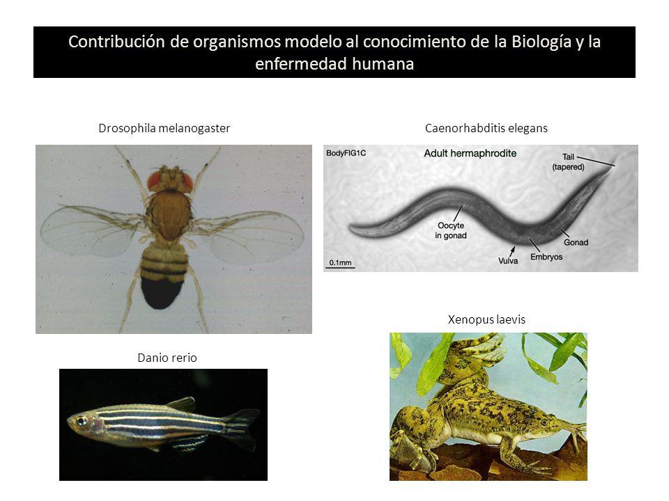 Contribución de organismos modelo al conocimiento de la Biología y la enfermedad humana