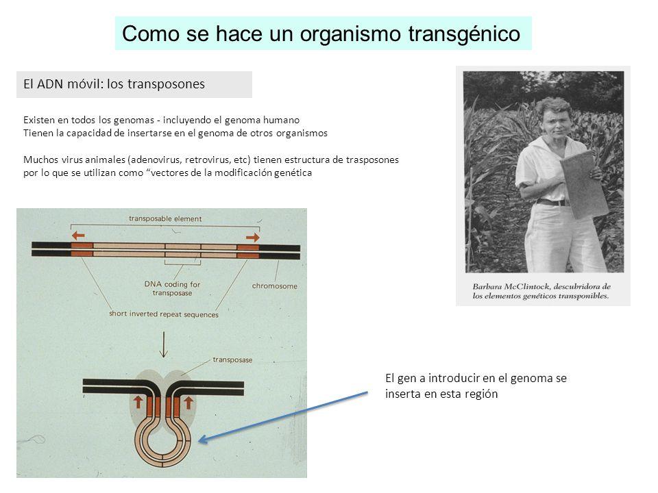 Como se hace un organismo transgénico