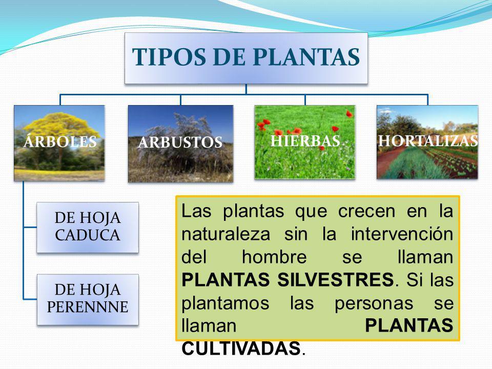 TIPOS DE PLANTAS ÁRBOLES. DE HOJA CADUCA. DE HOJA PERENNNE. ARBUSTOS. HIERBAS. HORTALIZAS.