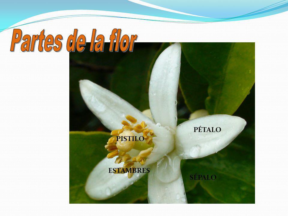 Partes de la flor PÉTALO PISTILO ESTAMBRES SÉPALO